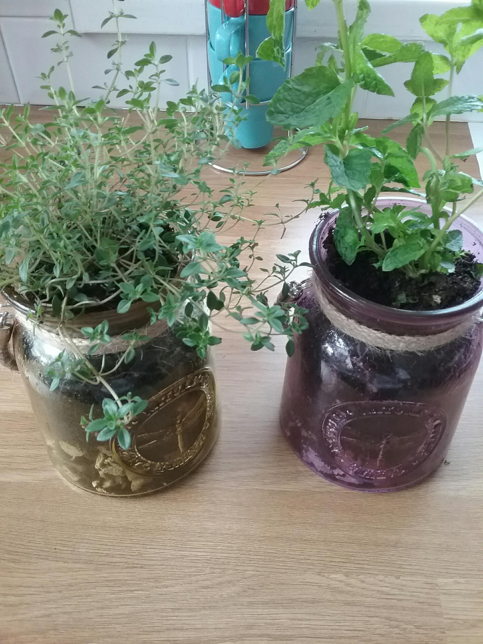 planting supermarket herbs